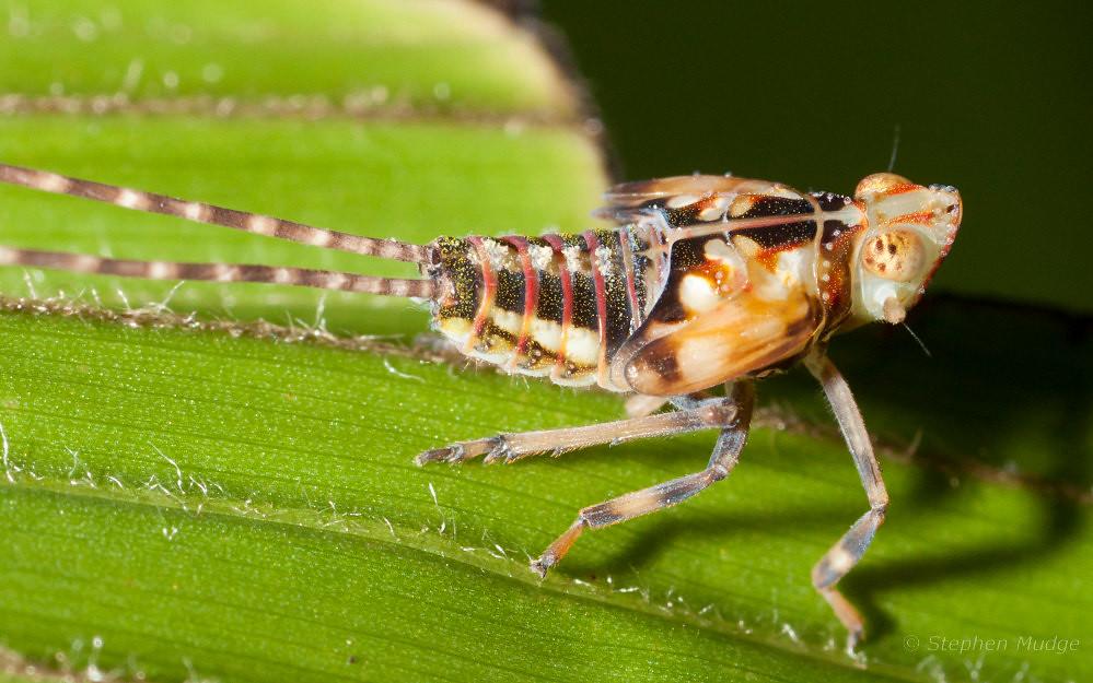 Palm planthopper nymph