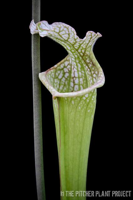 "Sarracenia 'Reptilian Rose' x leucophylla ""Purple Lips"" - clone 1"