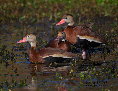 nature birds duck florida wildlife avian floridawildlife whistlingduck blackbelliedwhistlingducks floridabirds circlebbarreserve
