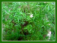 Asparagus densiflorus 'Sprengeri' (Sprengeri Asparagus Fern, Asparagus/Foxtail Fern, Plume Asparagus) with tiny white flower