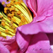 Pink Camellia and Stamen