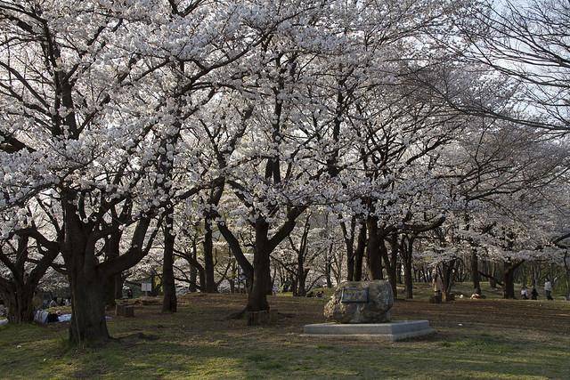 航空公園 桜並木