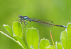 Pacific Forktail - Dragonfly by Davor Desancic