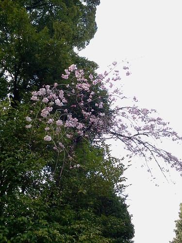 氷川神社の桜?