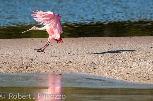 bird ngc npc sanibel sanibelisland spoonbill roseatespoonbill jndingdarlingnwr