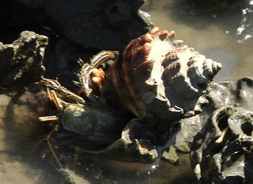 Hermit Crab in St. Augustine