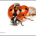 Seven-spot Ladybird by Ed Phillips 01