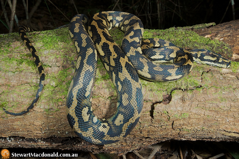 Jungle carpet python (Morelia spilota cheynei)