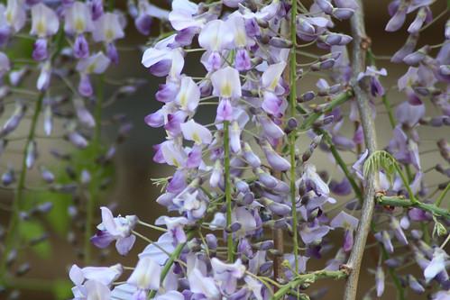 ベランダから見える藤の花2013