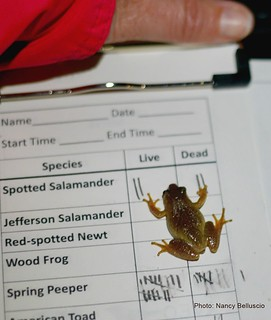 The volunteer Salamander Crossing Brigades collect data on spring-migrating amphibians. (photo: Nancy Belluscio)