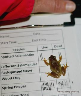 The volunteer Salamander Crossing Brigades collect data on spring-migrating amphibians. (photo: Nancy Belluscio)