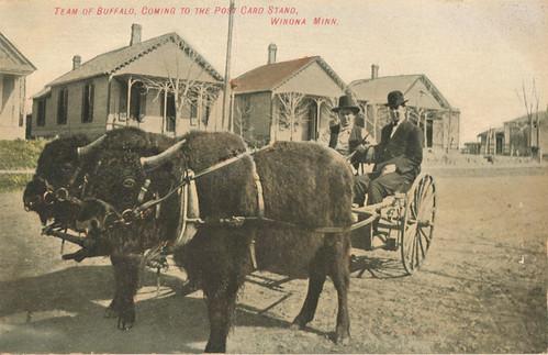 """Team of Buffalo, coming to the post card stand, Winona, Minnesota."""