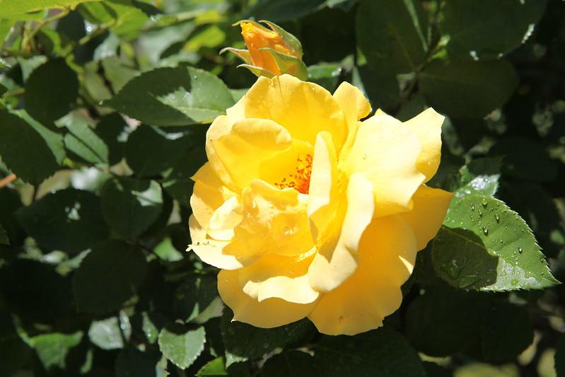 rose_111