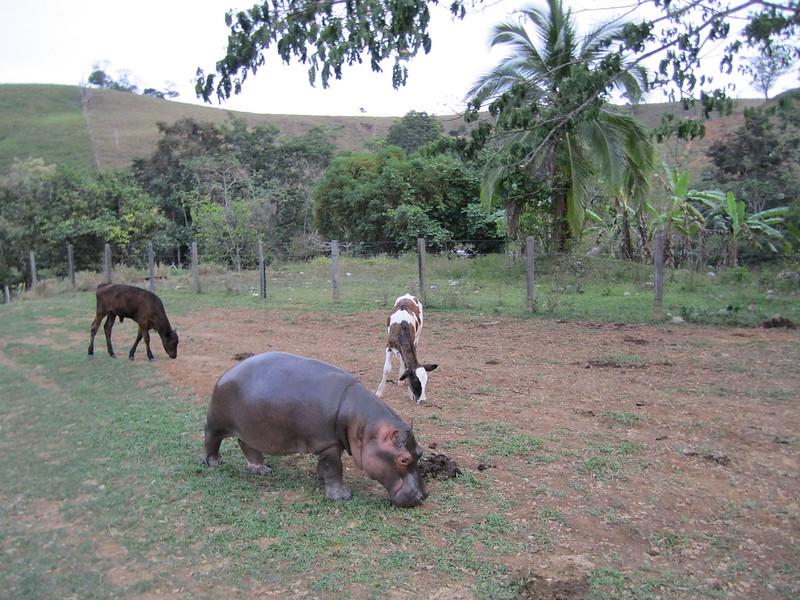 Hipopótamos Hacienda Nápoles