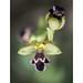 Ophrys omegaifera dyris - Photo (c) Aitor Escauriaza, algunos derechos reservados (CC BY)