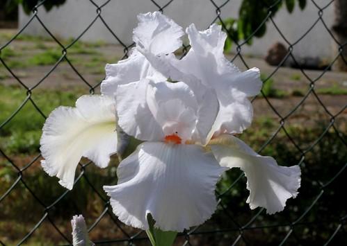 Nos Iris : floraisons 2012 - Page 2 8664515883_ff673d8172