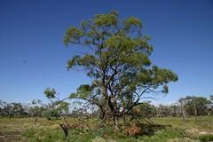 Green box, Chowilla floodplain, South Australia
