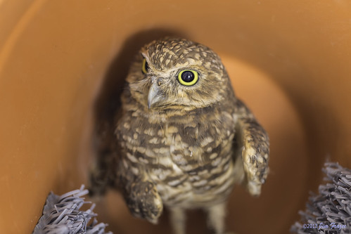 Burrowing Owl in a Flower Pot