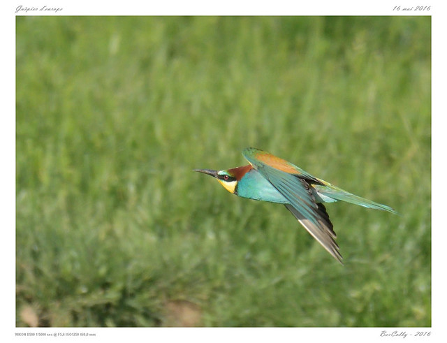 Guêpier d'europe   European Bee-eater   Merops apiaster