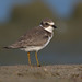 Semipalmated plover by Phiddy1