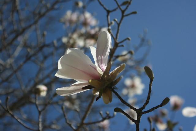 41.365 {Japanese Magnolia}