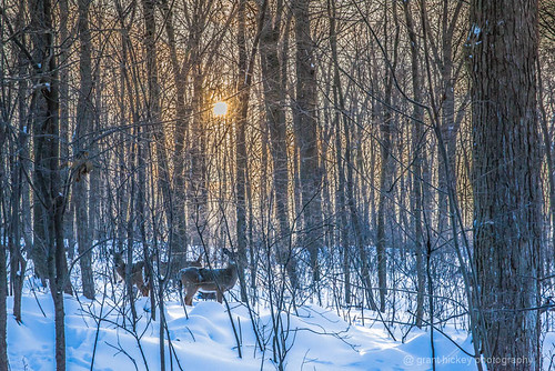 Deer at Dawn by gashphoto