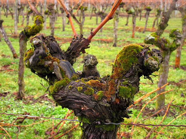Vineyard - Gnarled Grapevine with Moss