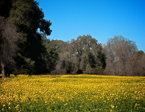 california ca flower landscape meadow meadows fremont wildflowers coyotehills earlyspring fremontca