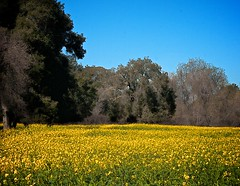 Wild Mustard Field 3 of 12