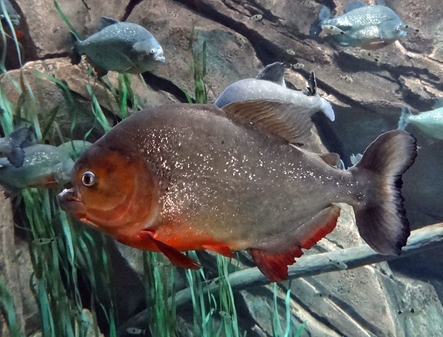 piranha-tank