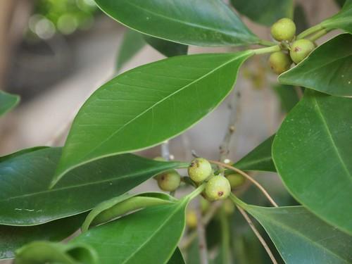 Garden Inventory: Ficus benjamina - 3