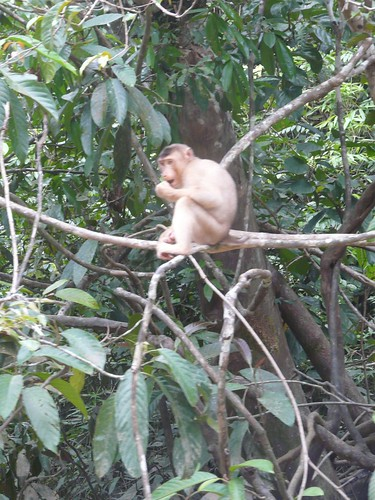 Macaque Monkey on a tree branch in Kinabatangan