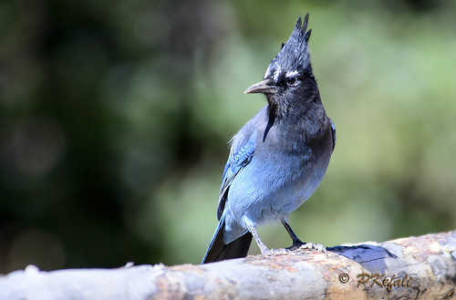 Steller's Jay (RMNP) by pkefali (busy - on/off, mostly off)