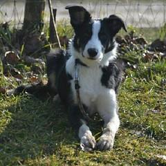 dog breed, animal, dog, pet, mammal, miniature australian shepherd,