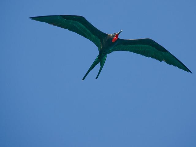 Galapagos Birds: Magnificent Frigatebird