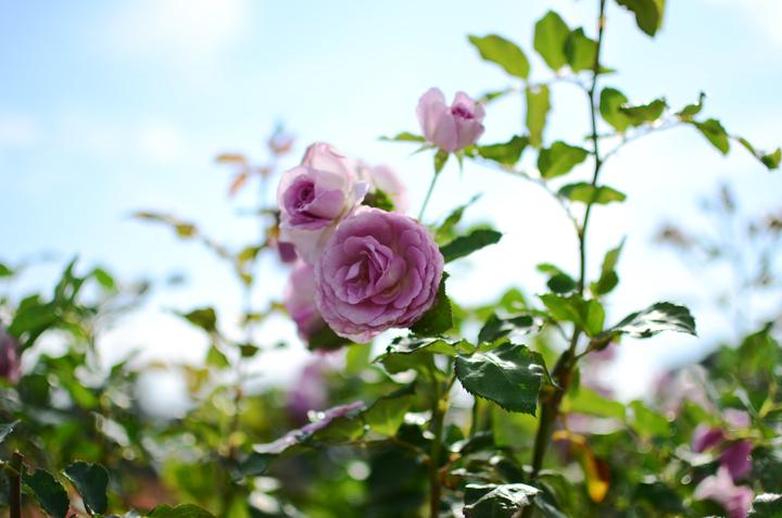 wm rose garden b