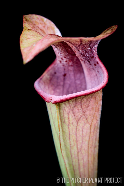 Sarracenia 'Godzuki' x (rubra x oreophila) x flava v. rugelli