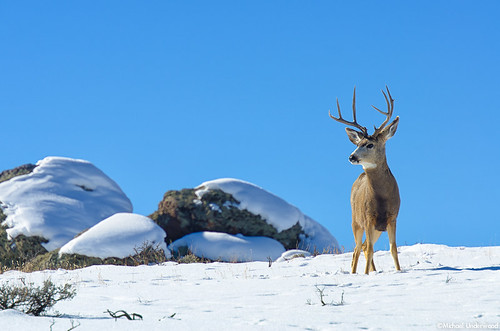 winter snow colorado wildlife bluesky deer buck gunnisoncounty