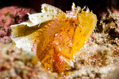 Leaf Scorpionfish - Taenianotus triacanthus