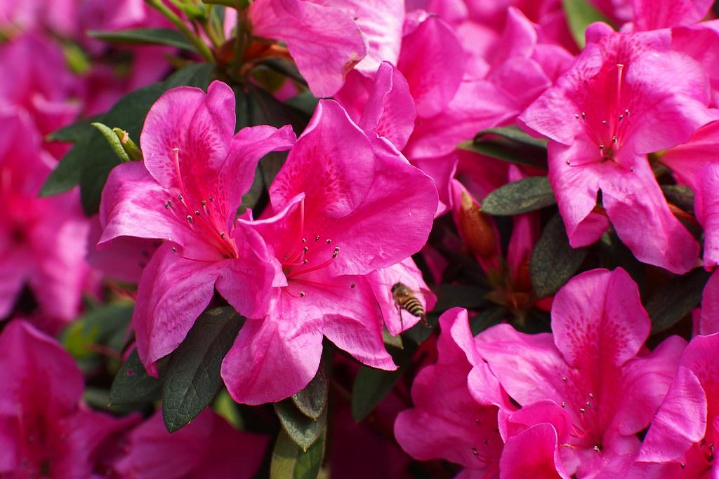 台大杜鵑花節
