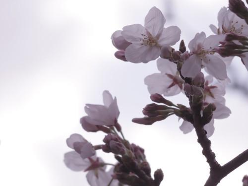 Sakura bloom in Tokyo 04