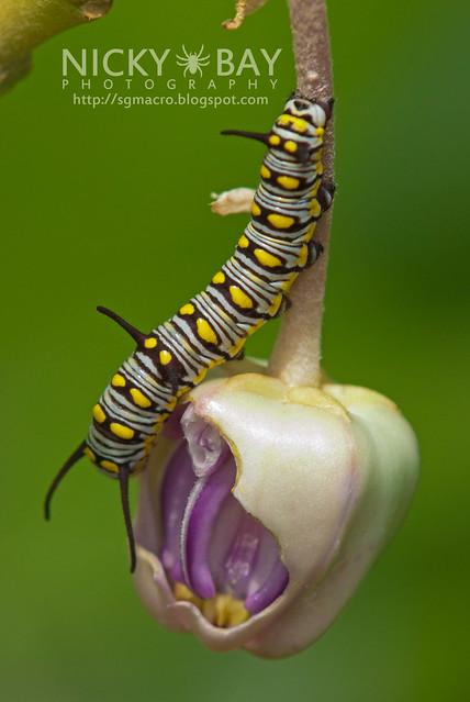 Plain Tiger larva - DSC_5631