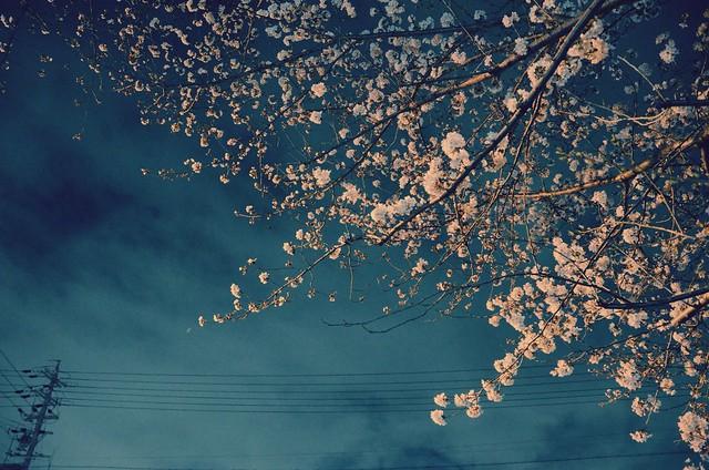 CherryBlossom_2