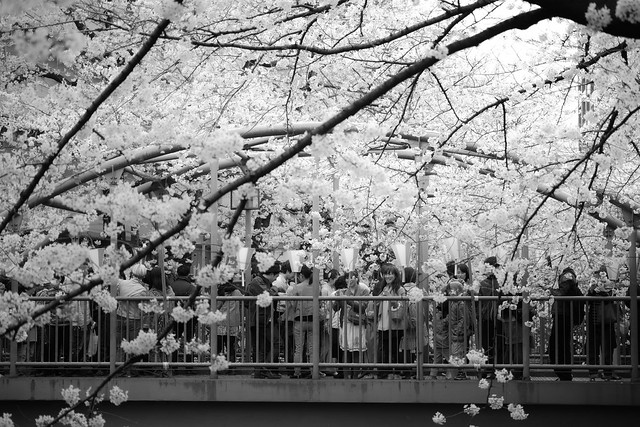 20130330_01_Monochrome cherry blossoms