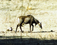 mustang horse(0.0), animal(1.0), wildebeest(1.0), mammal(1.0), horn(1.0), fauna(1.0), wildlife(1.0),