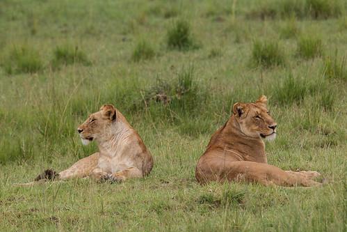 kenya masaimara 2013 maasaimaranationalreserve kicheche themara olareorokconservancy kichechebushcamp olaremotorogiconservancy