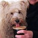 Dog sipping hot chocolate at Ramsbottom Chocolate Festival 2013