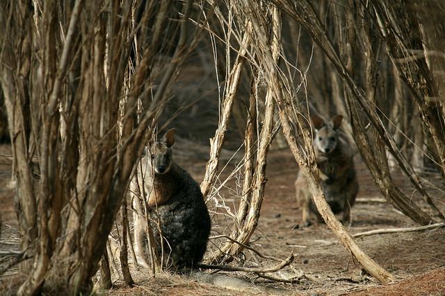 wallabies @ kangaroo island
