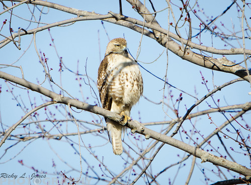 Red-Tailed Hawk at Deer Creek by Ricky L. Jones Photography