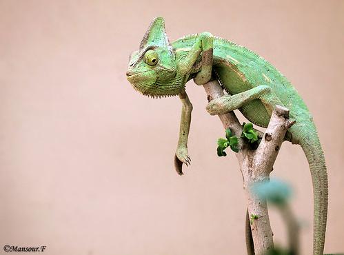 Chameleon by Mansour Al-Fayez